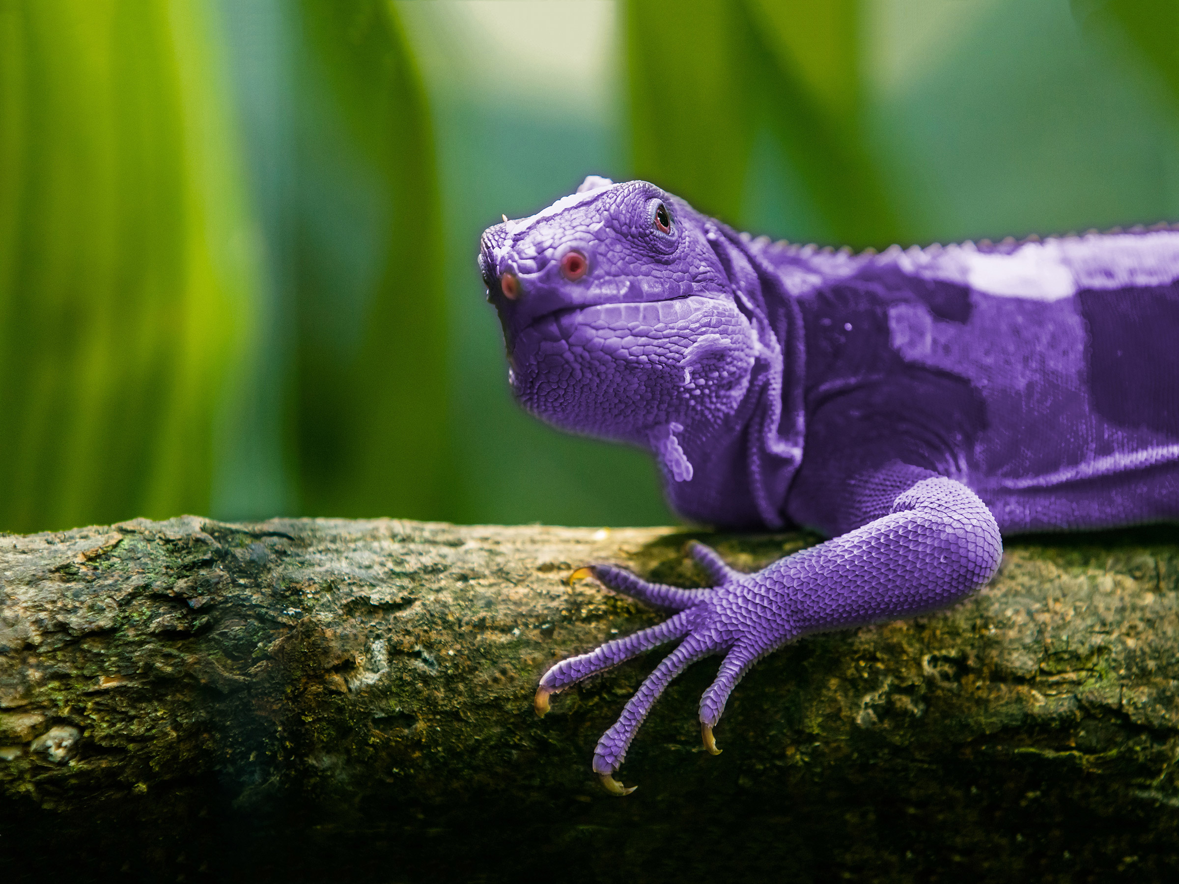 PURPLE LIZARD…